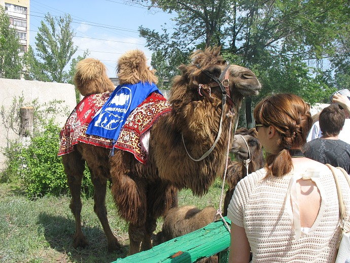 Красавец верблюд-единорос